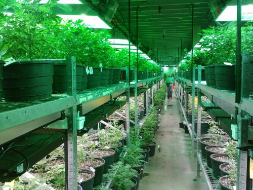 Cannabis indoor grow farm