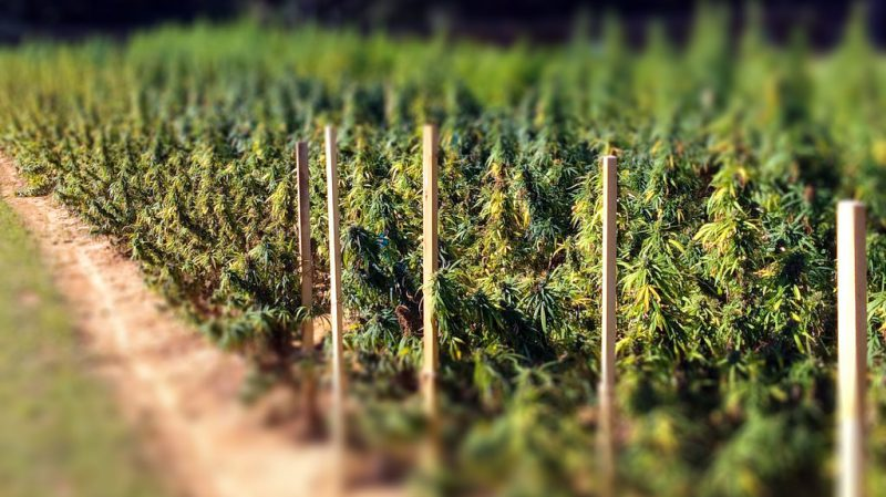 field of marijuana