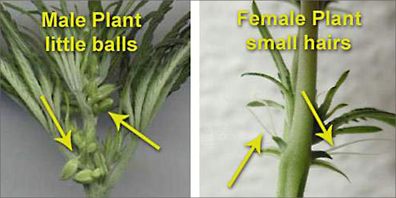close up of female and male cannabis