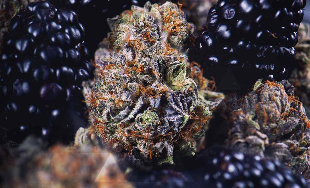 cannabis buds and blackberries