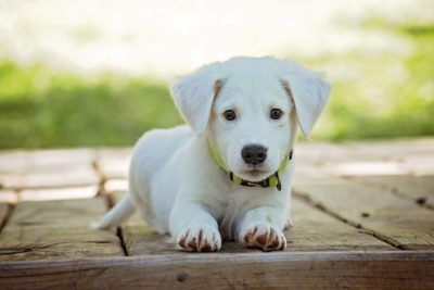 white Labrador Puppy